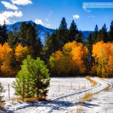 Snow and Aspens