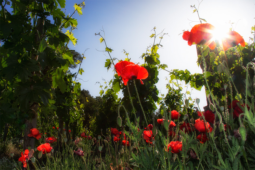 Poppies in Napa