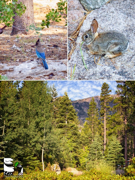 Lake Tahoe Wildlife