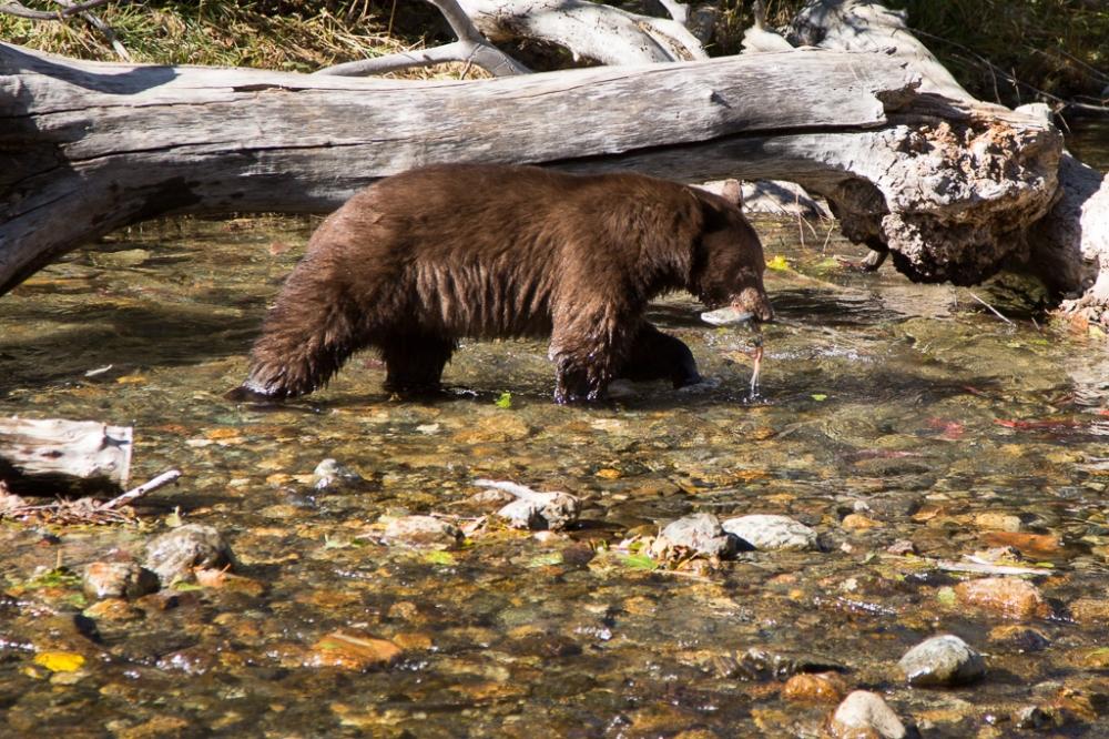 Tahoe Bear-53-2 web