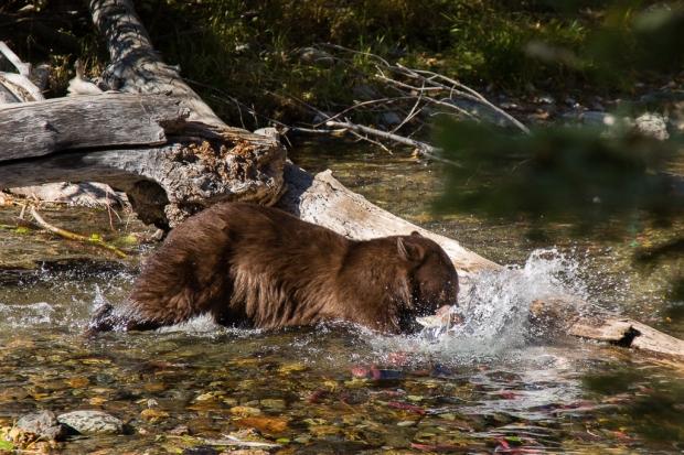 Tahoe Bear-57 web