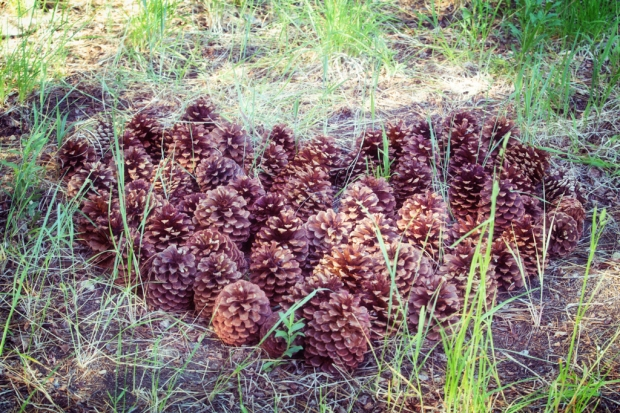 Pinecone heart