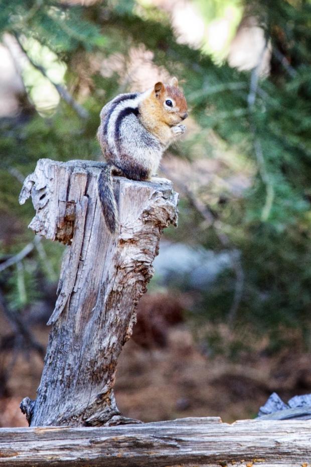 Not a chipmunk.  Golden Mantle Ground Squirrel