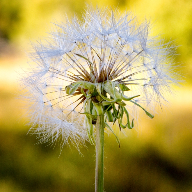 The last of the giant dandelions