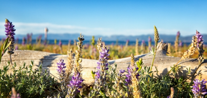 Lupine with Lake Tahoe and Sierras in background