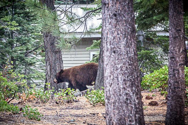 Black Bear in the neighborhood